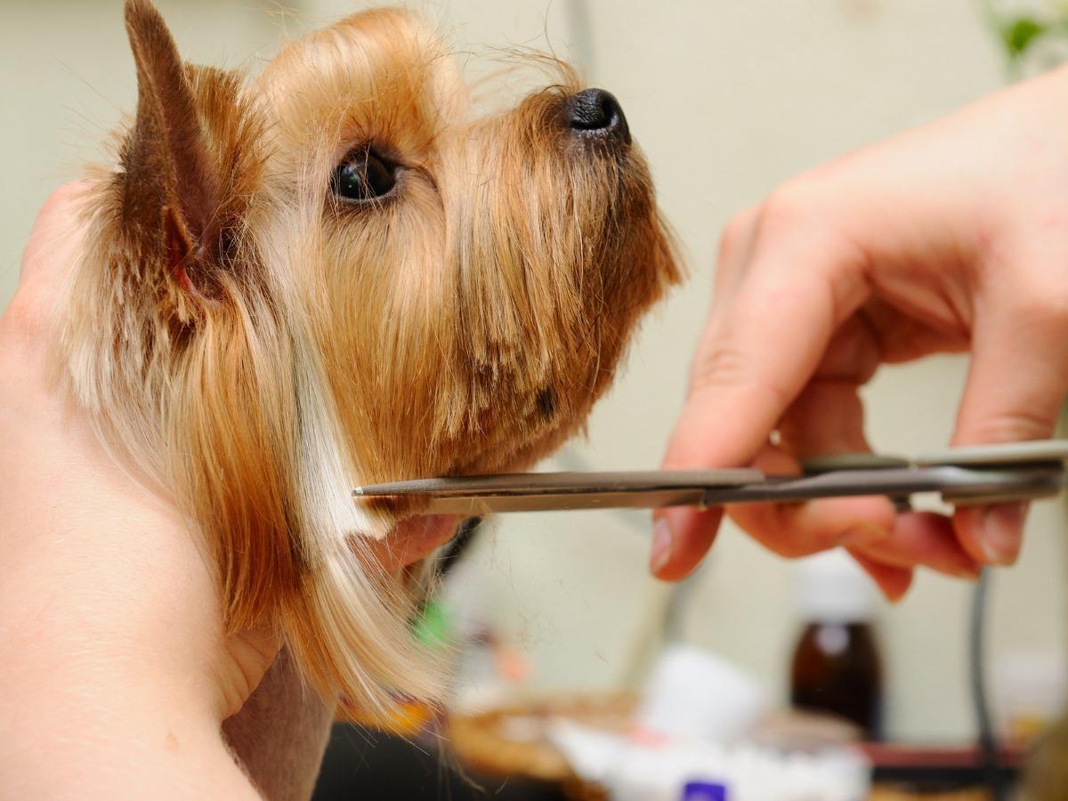 Veterinarian giving dog a haircut