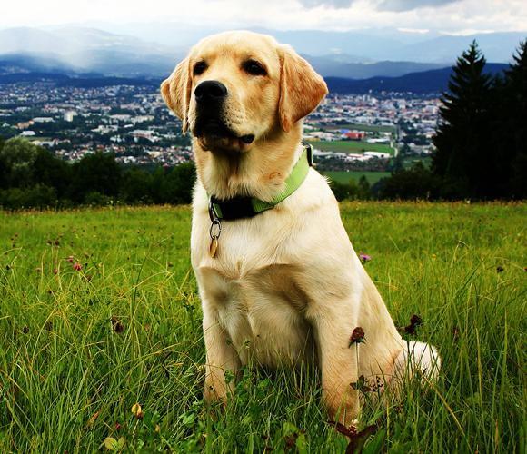 Dog in Grassfield