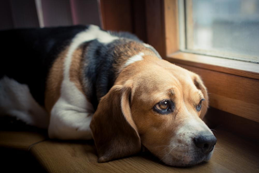 sad beagle staring out window because he is home alone and needs a doggy day care in Tierrasanta