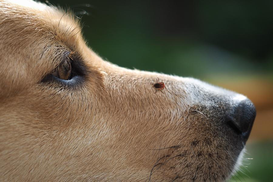 Tick Borne Diseases And Your Pet