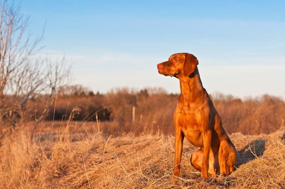 brown dog looking into the distance