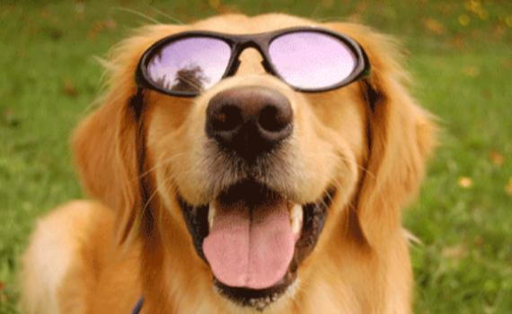 dog in sunglasses, pet summer tips, heat, family animal medicine, owasso vet, veterinarian