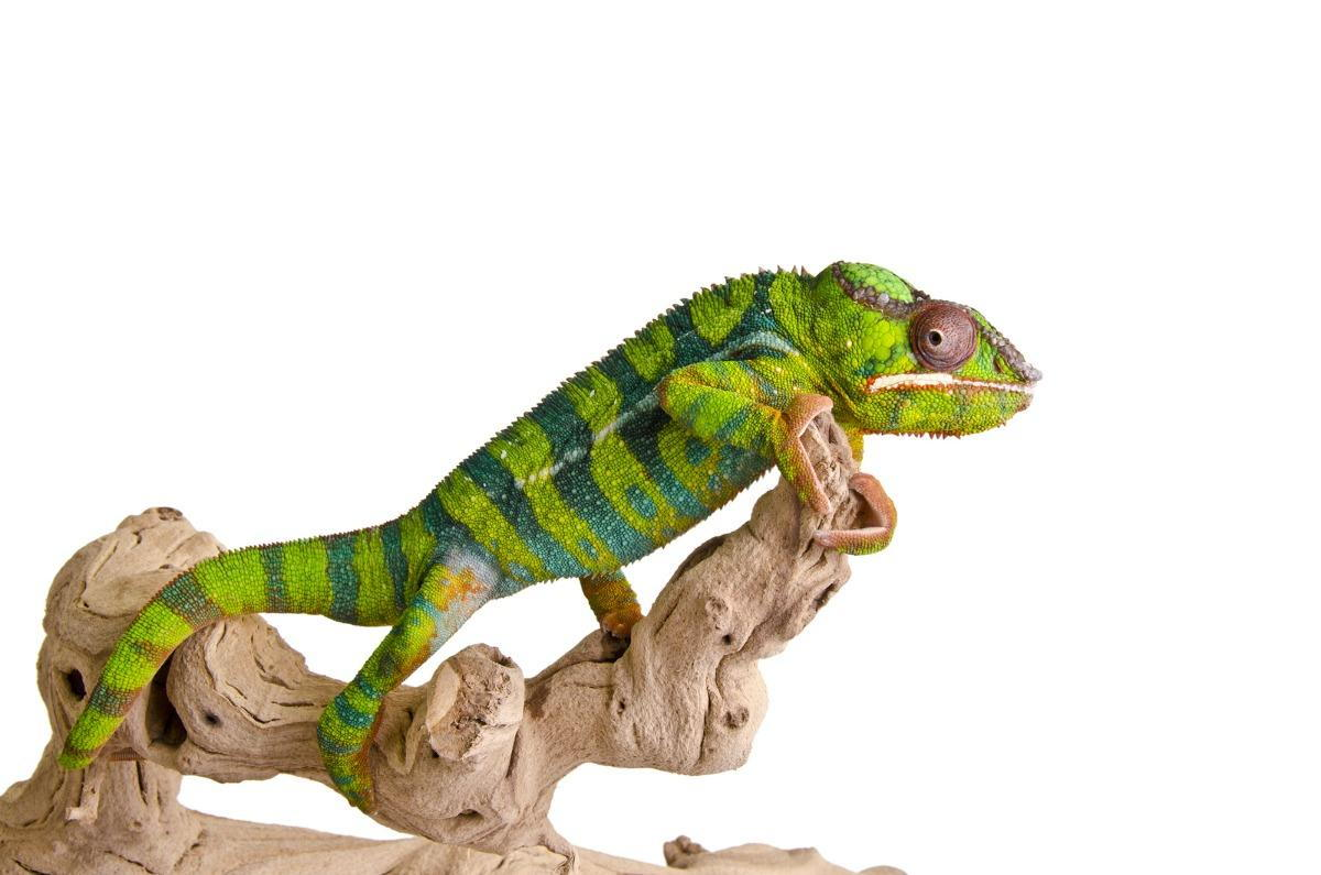Pet Reptile