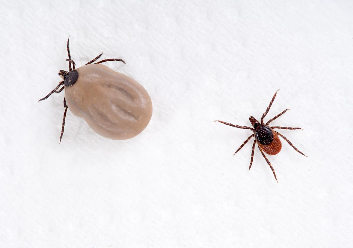 Lyme Disease In Dogs What You Need To Know