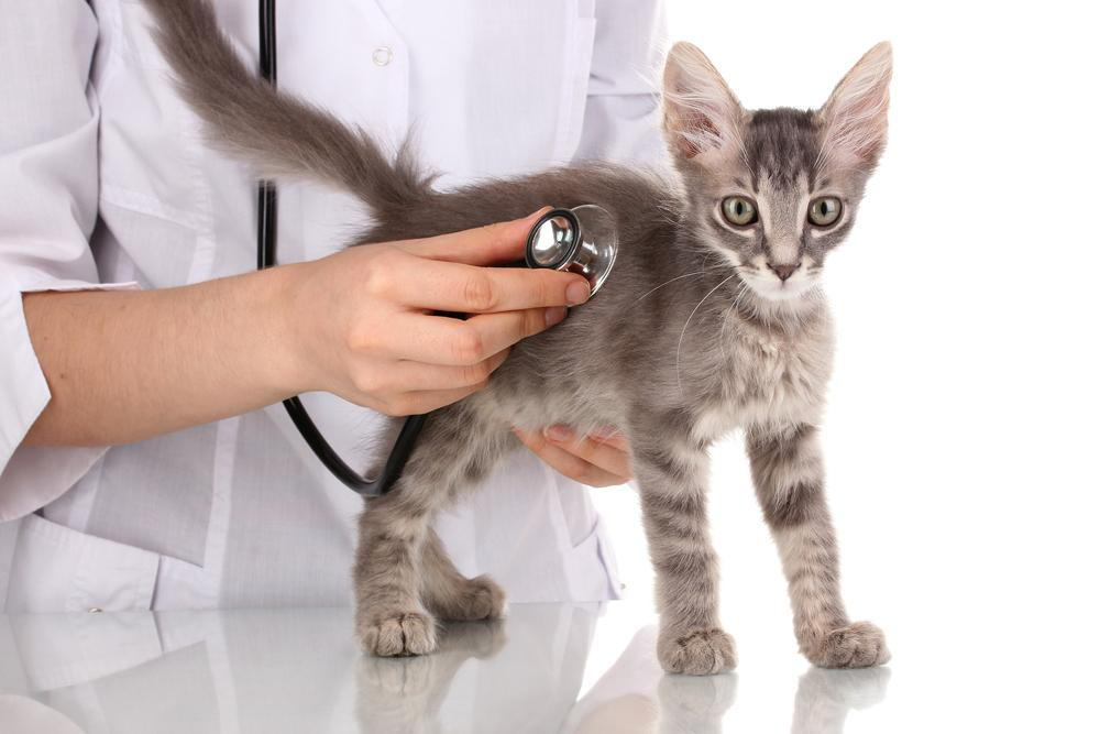 cat getting checkup at vet
