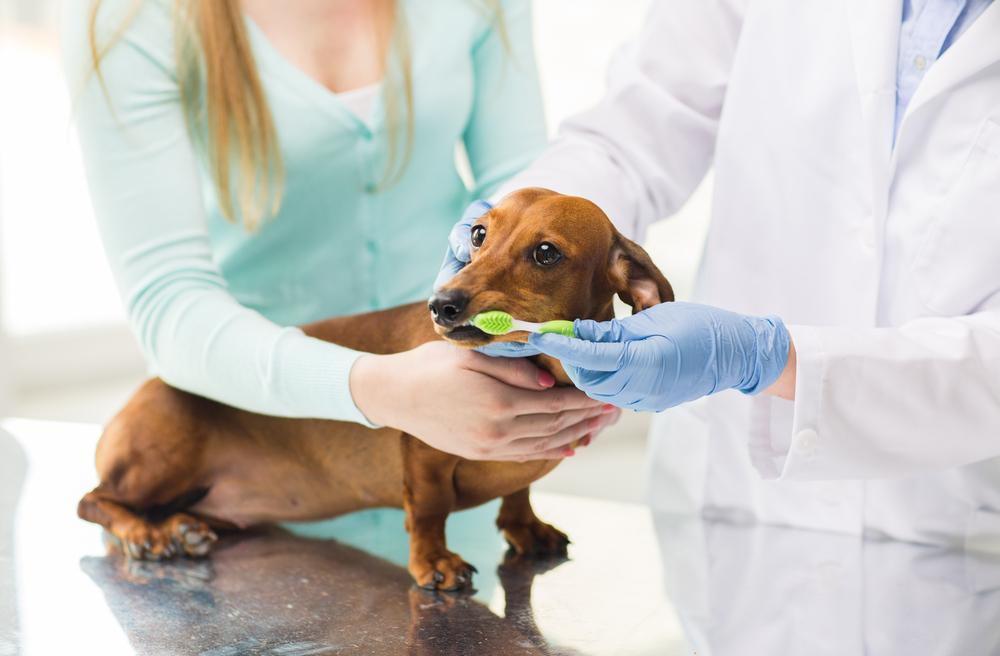 Veterinarian brushing dogs teeth