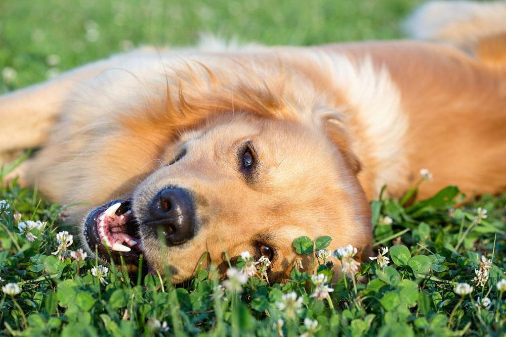 Dog laying in a bed of flowers