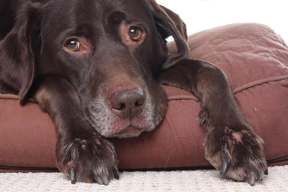 Dog feeling sick from salmon poisoning