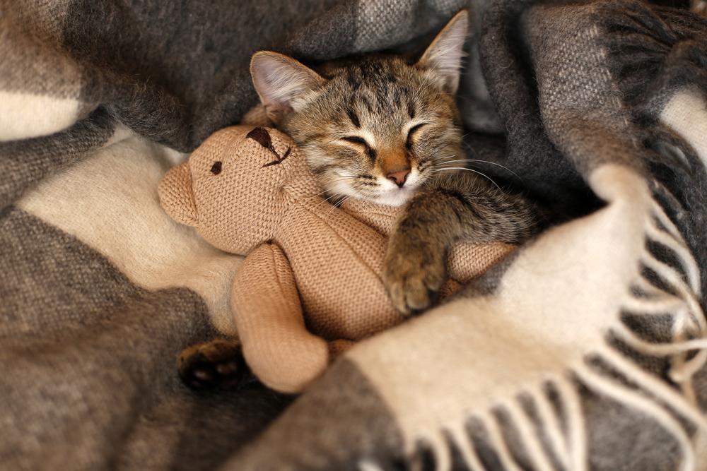 Cat snuggling with stuffed bear under a blanket in Auburn
