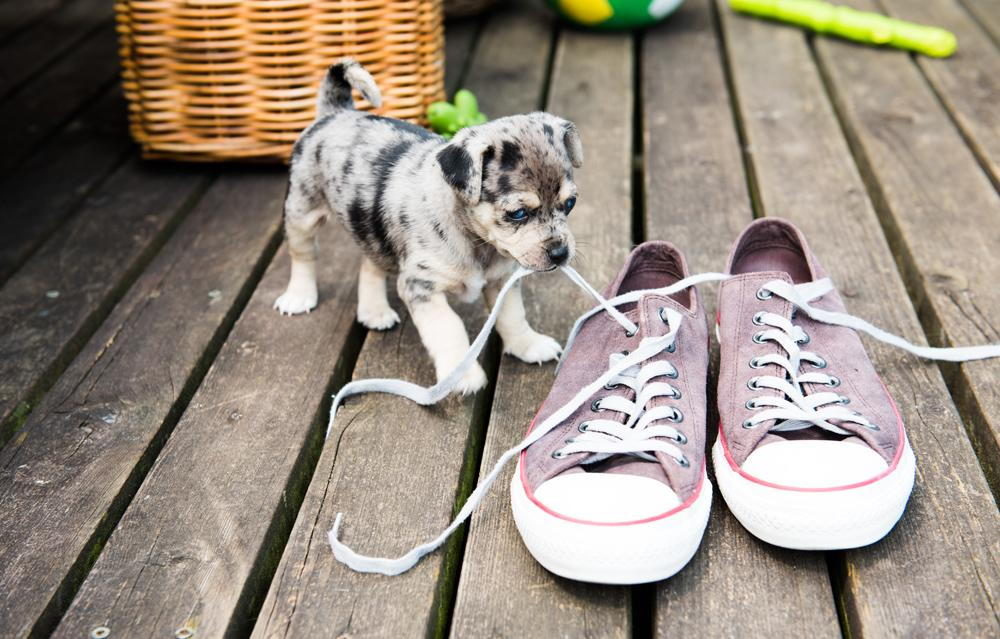 Puppy playing with shoe laces outside.