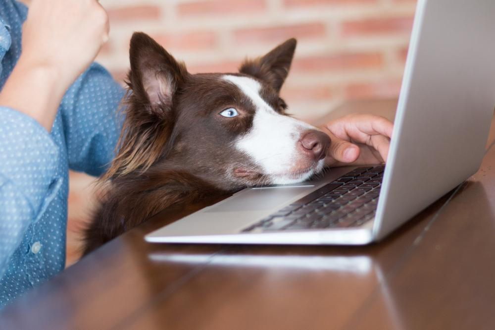 dog looking at a laptop
