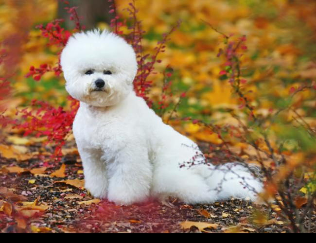 Groomed dog standing in fall leaves