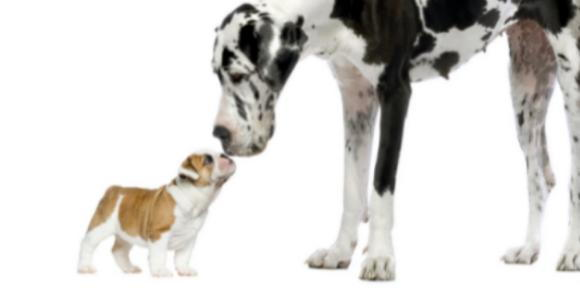 Great Dane and small bulldog sniffing noses