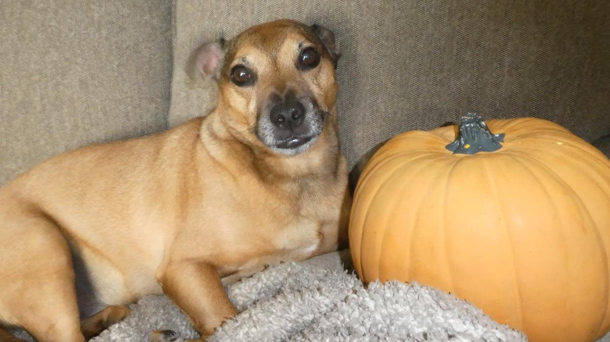 how much pumpkin for diarrhea in dogs