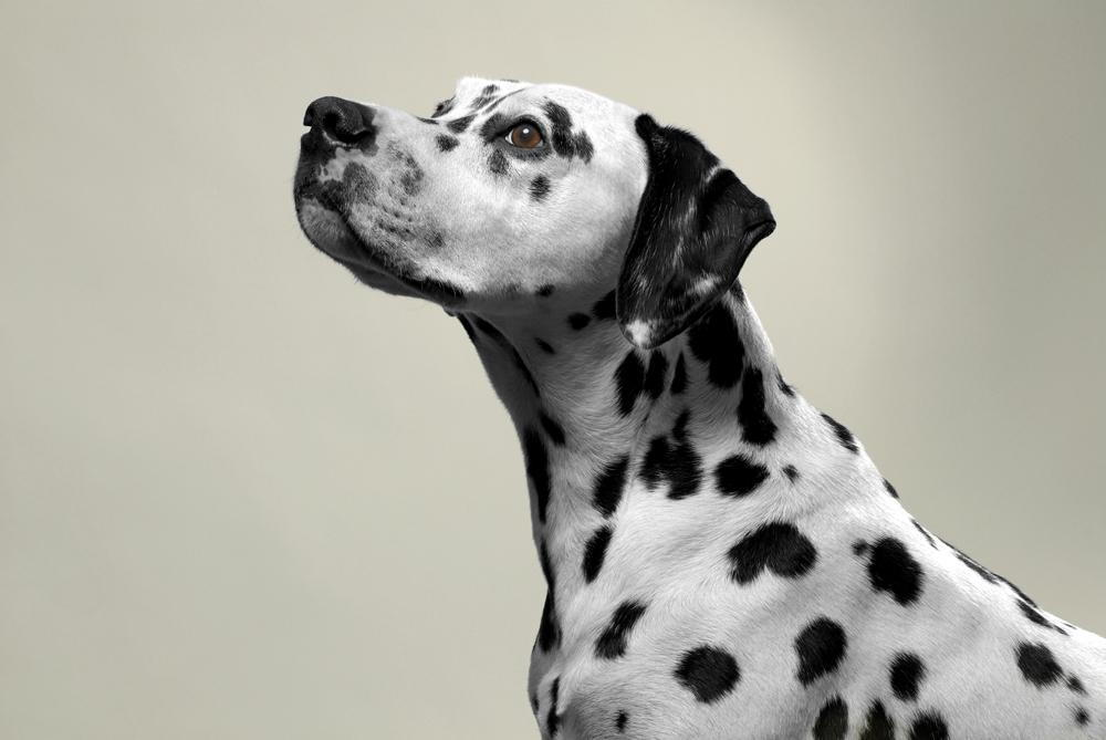 Dalmatian staring into the distance