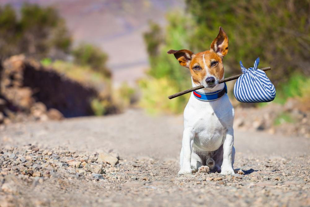 Dog with a knapsack happy that he is microchipped.