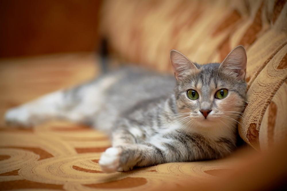 cat sitting on couch after seeing a Motrose veterinarian