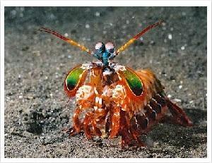 mantis_shrimp_300x231