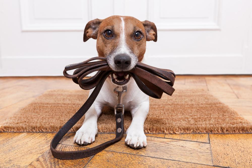 Dog holding his leash, ready to walk outside.