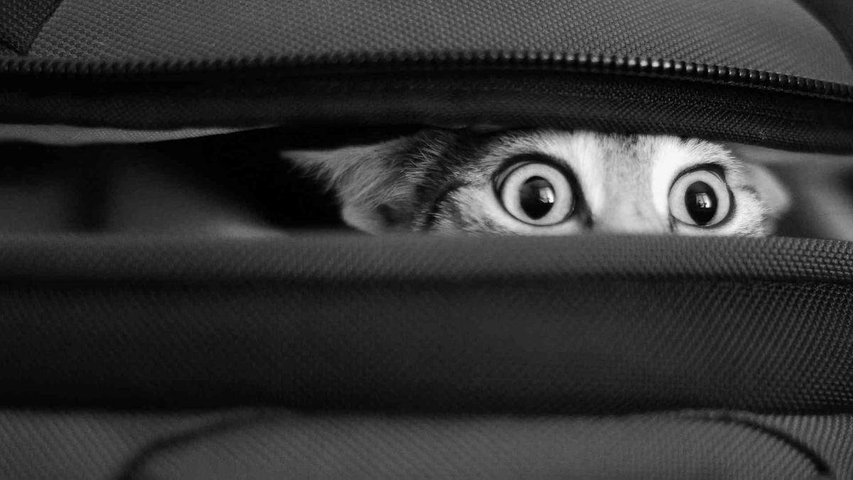adorable cat peeking out of bag