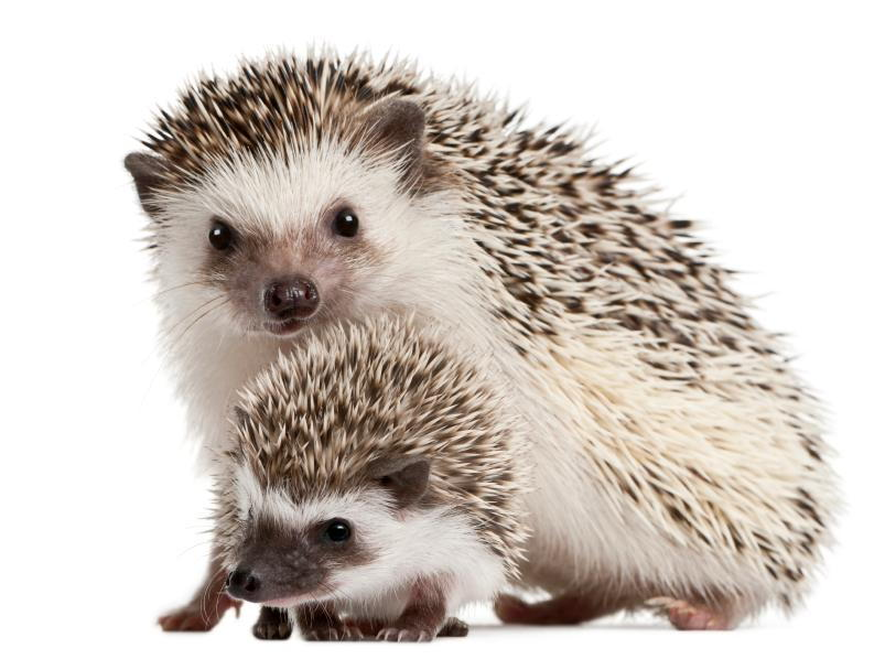Let S Get To The Point Is A Hedgehog The Pet For You