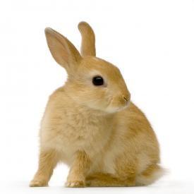 bigstock_Spy_Rabbit_983517_1.jpg