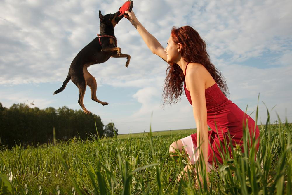 dog playing frisbee with his owner during the summer