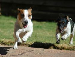 dogs frolicking after being spayed and neutered