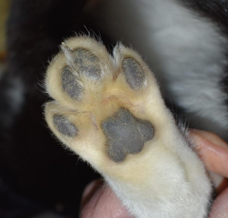 Normal back paw with four toes