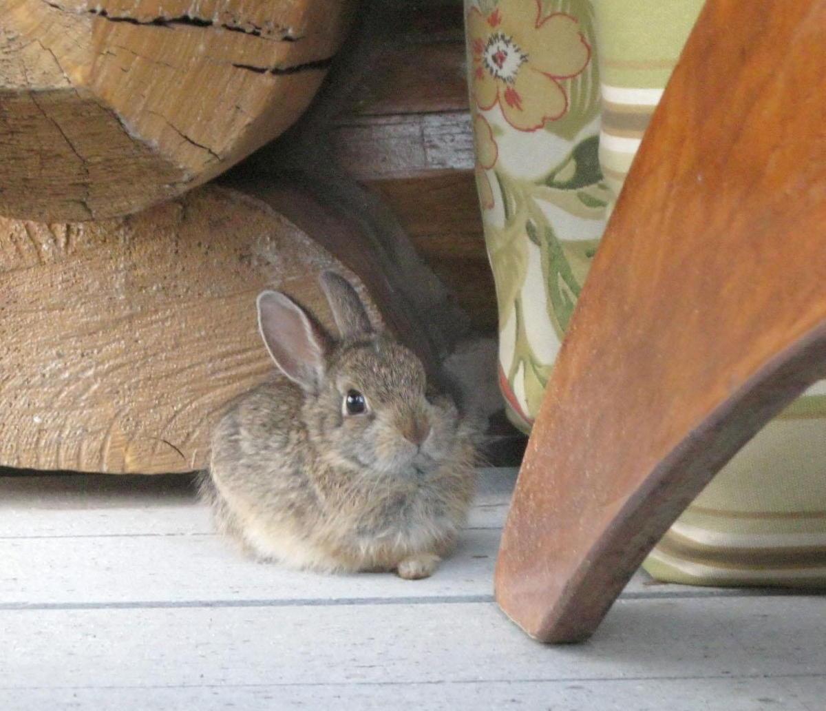 Talaremia_bunny