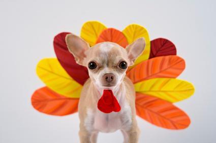 chihuahua in a turkey costume