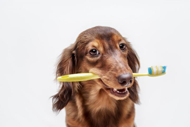 Dog with a toothbrush for good dental hygiene
