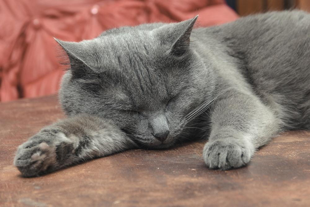 cat sleeping before pet surgery with veterinarian in Clifton