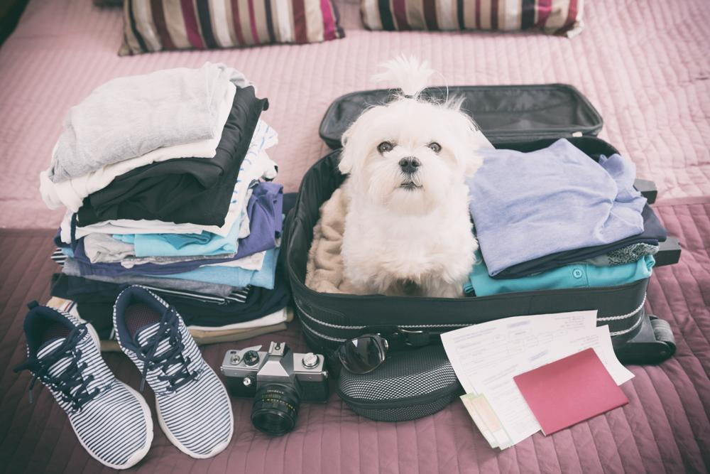 Dog getting ready to travel