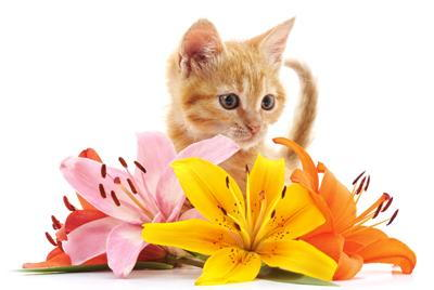 For Cats Lilies are Attractive and Toxic Just Cats Veterinary Clinic -  Veterinarian in Saratoga, NY, USA