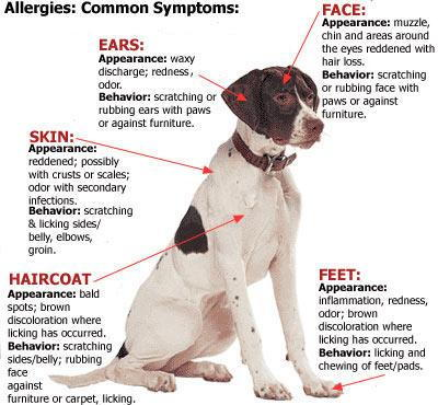 Canine Allergies