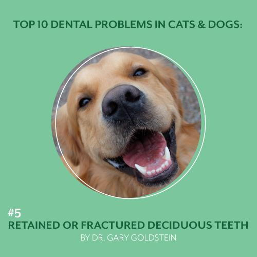 Retained and Fractured Deciduous Dog Teeth