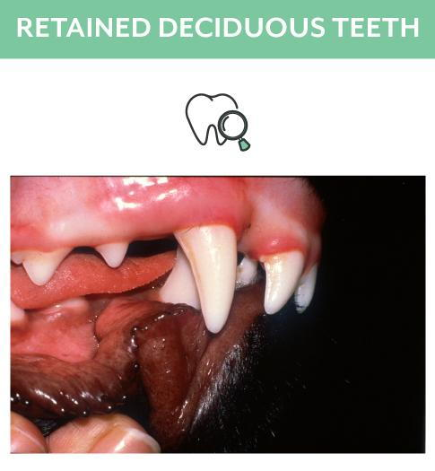 Retained Deciduous Dog Teeth