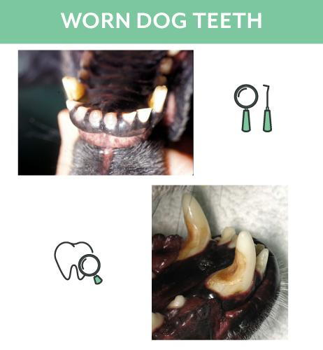 Worn Dog Teeth