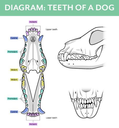 Diagram of Dog Teeth