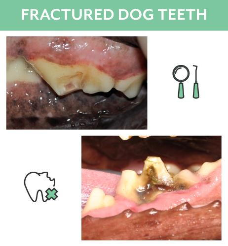 Fractured Dog Teeth