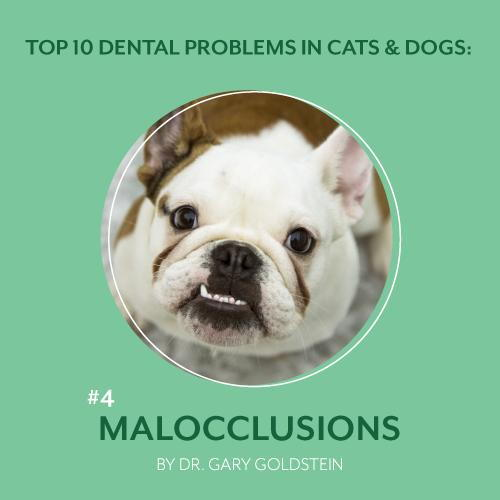 Dental Problems in Cats and Dogs: Malocclusions or Misaligned Teeth