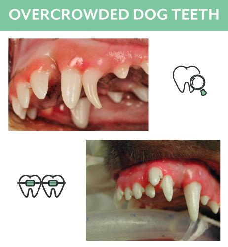 Overcrowded Dog and Cat Teeth