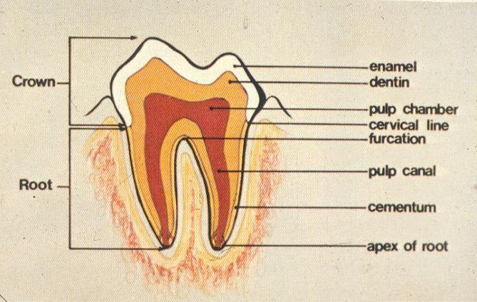 Anatomy_of_Tooth.jpg