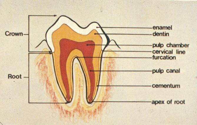 Anatomy_of_Tooth.jpg