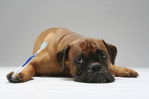 pet dental care veterinarian dentist langley