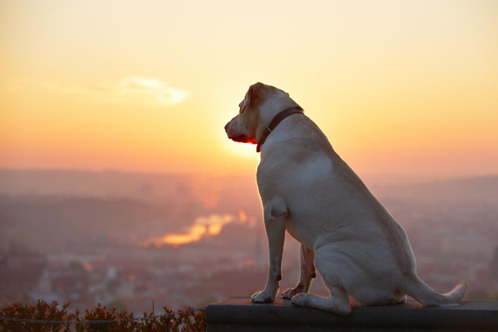 dog looking at the sunset