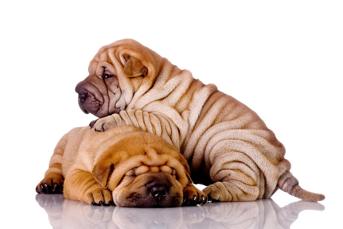 Pet Obesity