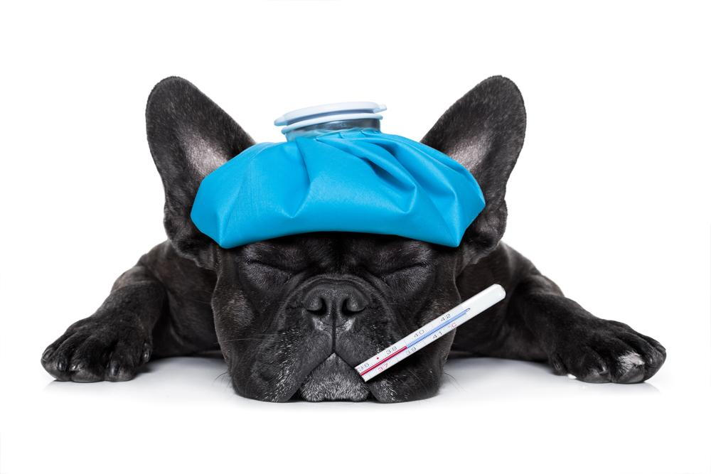 photo of a dog with canine influenza seeking treatment from our los angeles veterinarian