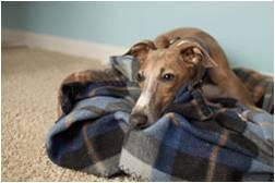 Greyhound Resting Comfortably